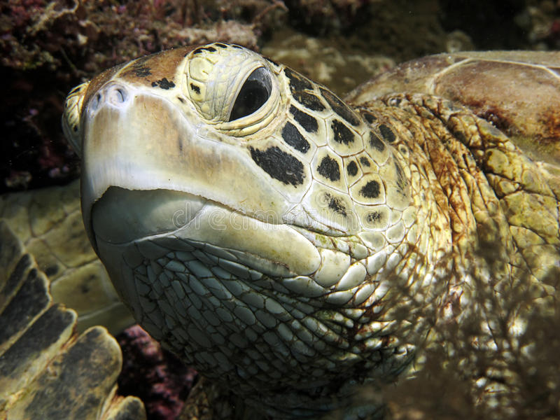 Close up of a turtle head. Turtle head underwater in Sipadan, Malaysia royalty free stock photography