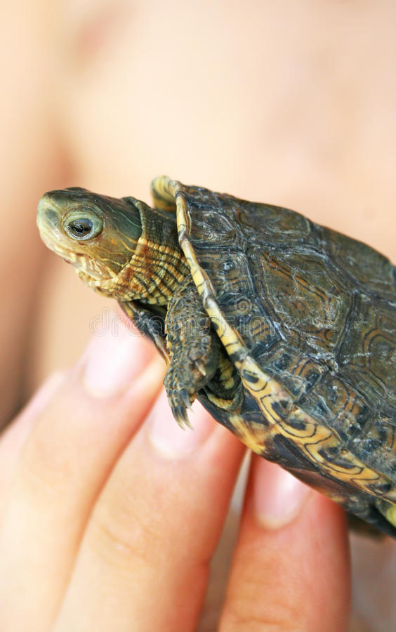 Download Turtle stock image. Image of amphibious, reptile, detail - 15234941