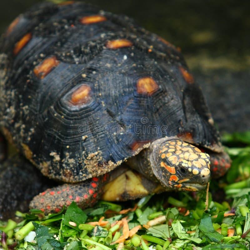 Turtle royalty free stock photos