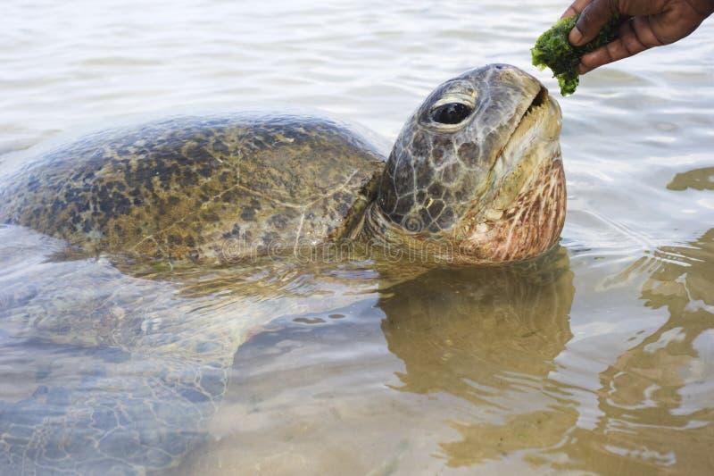 Download Turtle stock image. Image of looking, aquatic, species - 18573745