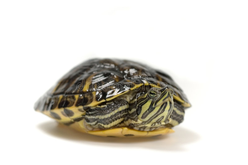 Download Turtle stock photo. Image of isolated, head, slow, shield - 2203486