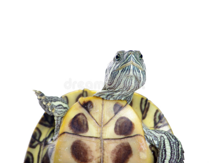 Download Turtle stock image. Image of tough, turtle, move, wise - 24156983