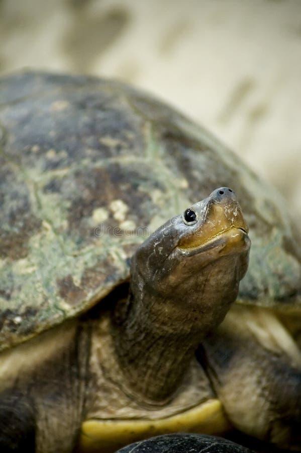 Download Turtle stock image. Image of necked, tortoise, longneck - 246991