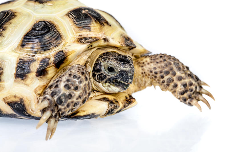 Download Turtle stock image. Image of scale, tortoise, arid, turtle - 24878241