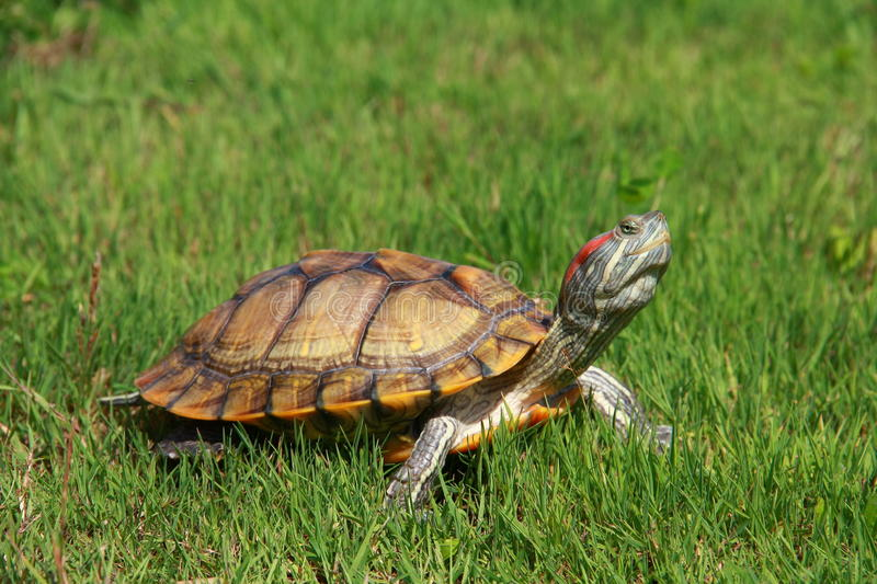 Download Turtle stock image. Image of concepts, large, reptile - 25613657