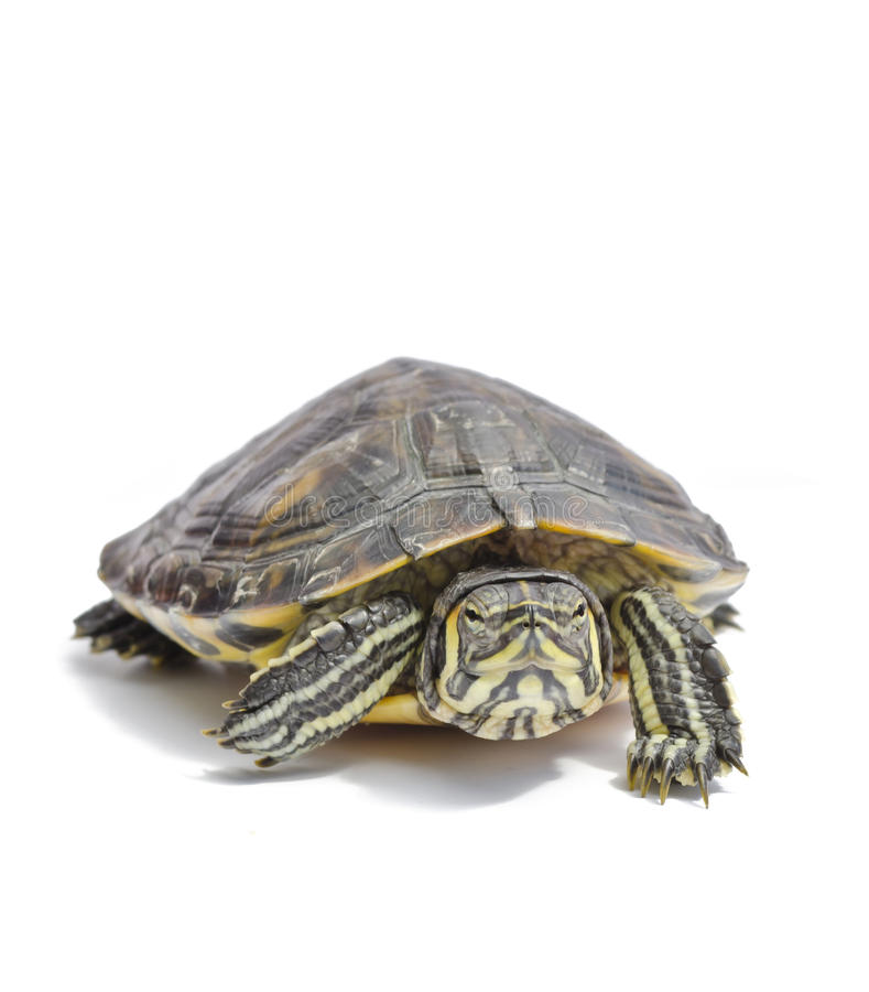 Download Turtle stock photo. Image of slow, funny, crawl, reptile - 25820006