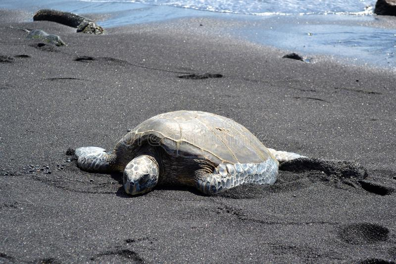 Download Turtle stock image. Image of turtle, sunny, maui, island - 26322801