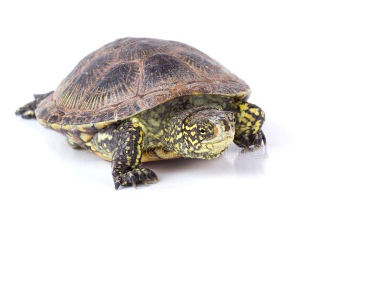 Download Turtle stock image. Image of endangered, herbivorous - 26807985