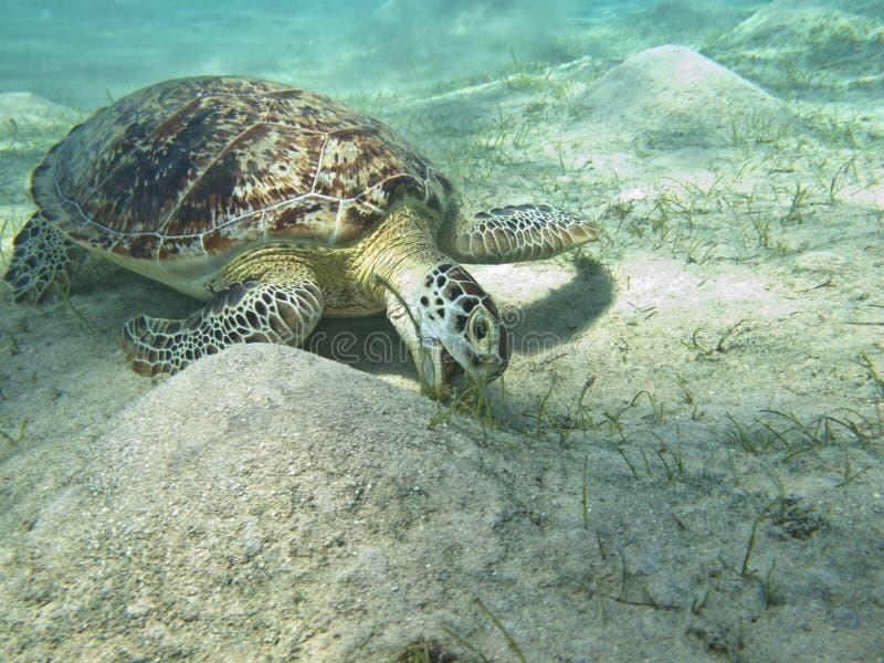 Download The Turtle stock photo. Image of algae, underwater, amphibian - 27222342