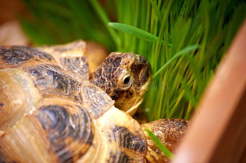 Download Turtle stock image. Image of animal, close, shell, laziness - 28733645