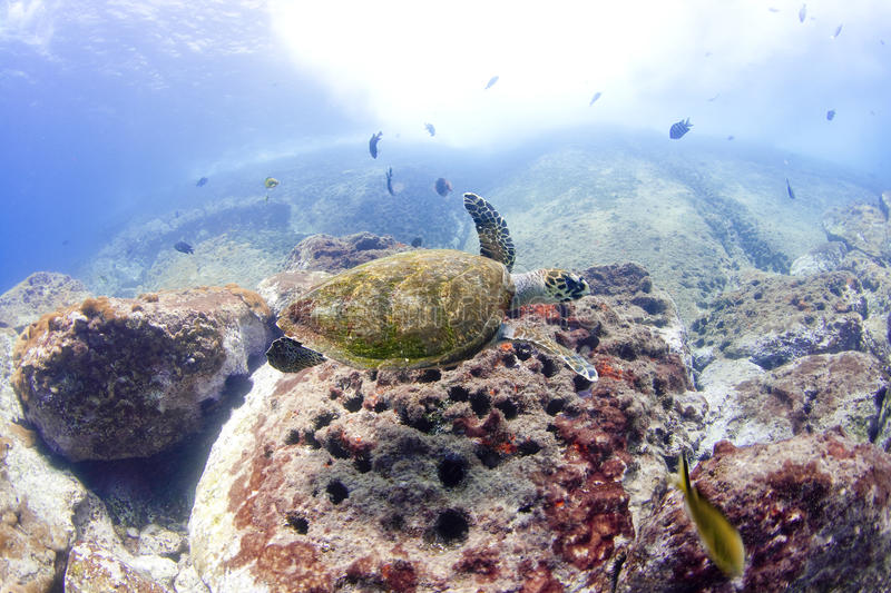 Download Turtle 4 stock photo. Image of blue, breath, reef, free - 12249848