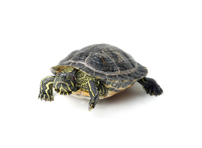 Download Turtle stock image. Image of looking, turtle, reptil, animales - 4577103
