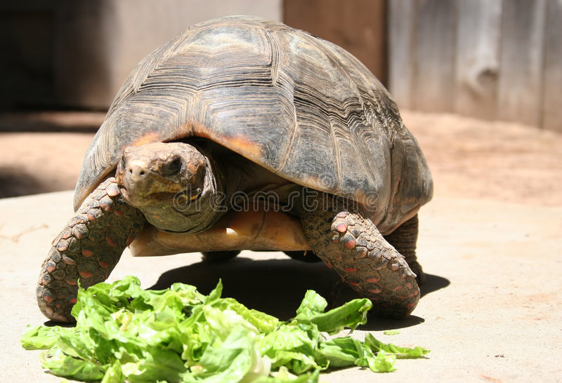 Download Turtle stock photo. Image of turtle, amimal, feed, look - 466110
