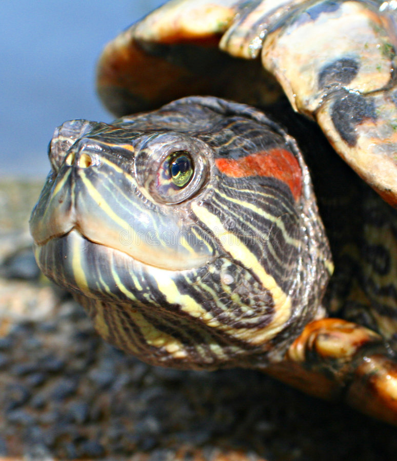 Download Turtle stock photo. Image of ecology, journey, painted - 507064