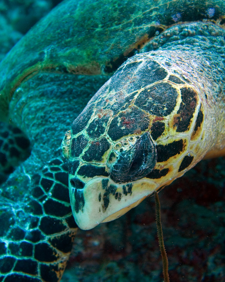 Download Turtle stock image. Image of exploration, ocean, florida - 5114937