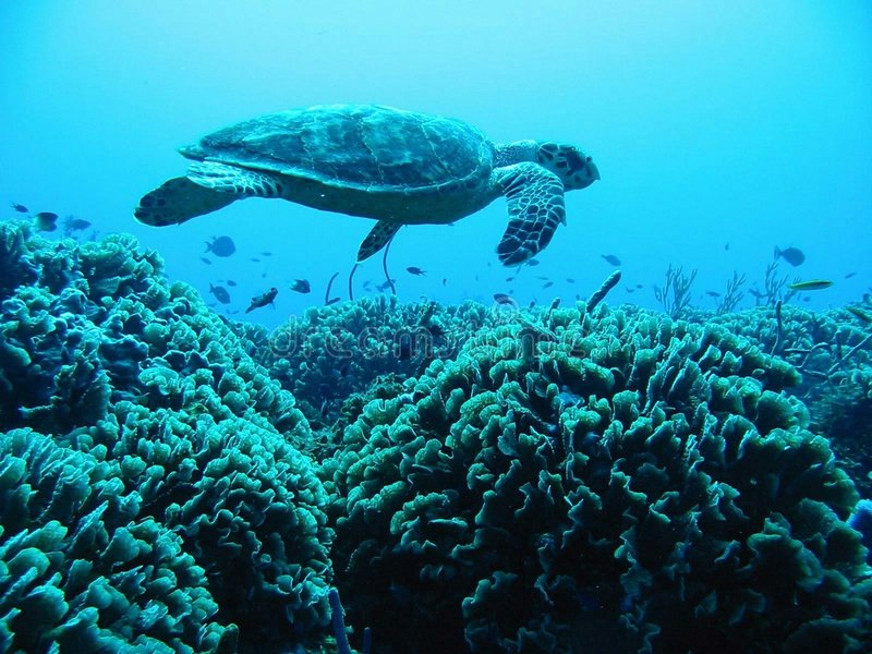 Download Turtle Above Reef stock image. Image of flying, coral - 8806949