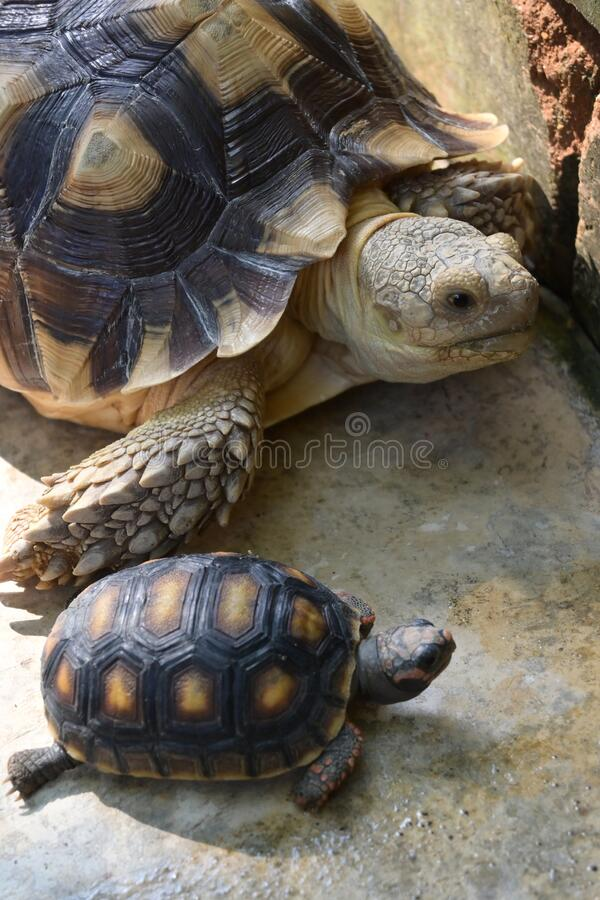 Turtle animal of long life in wildlife. Small and large turtle royalty free stock photos