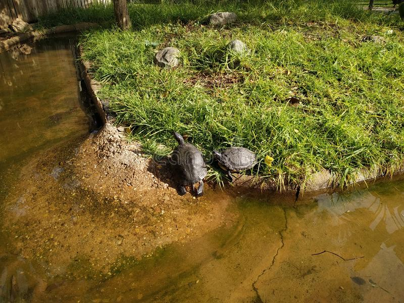 Turtle in the animal park of Ayamonte province of Huelva Spain. Photo taken in 2019 stock images