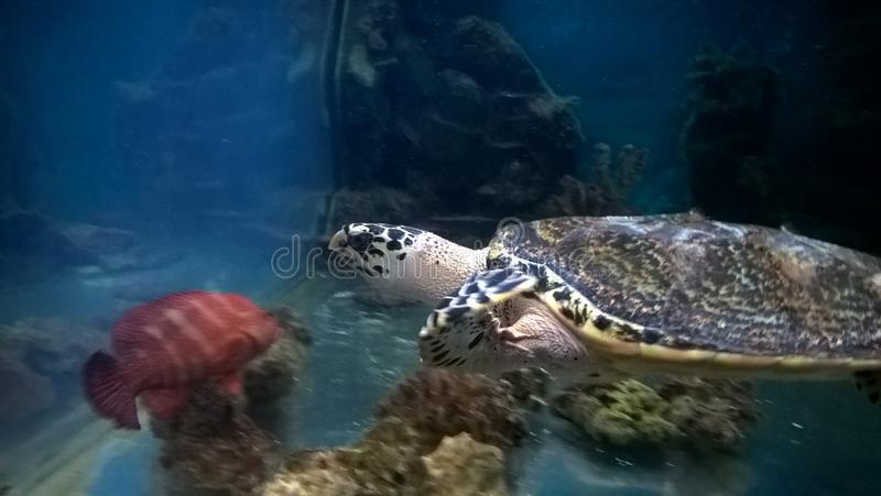 Turtle in Aquarium royalty free stock image