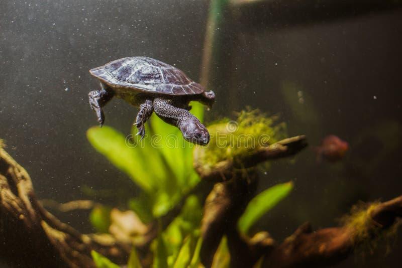 Turtle in aquarium wildlife tropical stock image