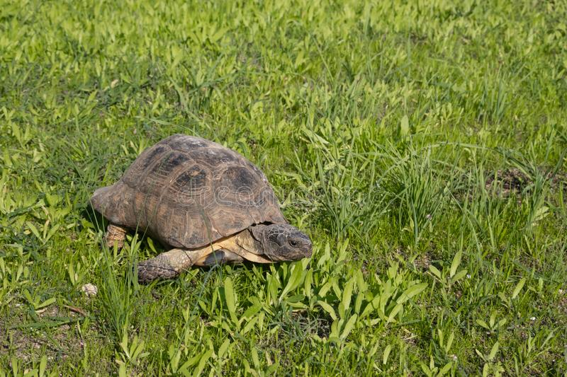 Turtle in Athens, Greece, on the sights of Acropolis monument on green grass. Turtle in Athens, Greece, on the sights of Acropolis monument royalty free stock photography