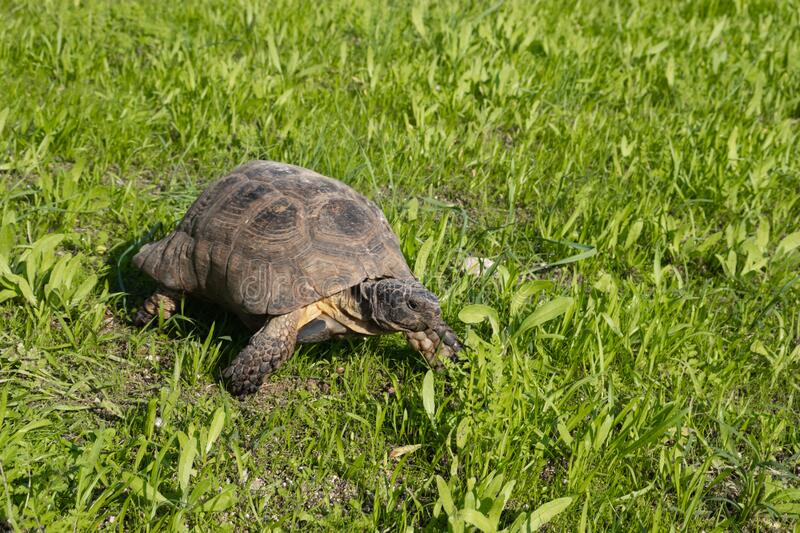 Turtle in Athens, Greece, on the sights of Acropolis monument on green grass. Turtle in Athens, Greece, on the sights of Acropolis monument royalty free stock images