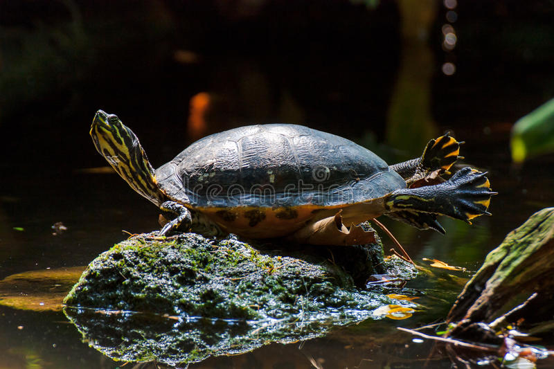 Turtle. Basking in the sun royalty free stock images