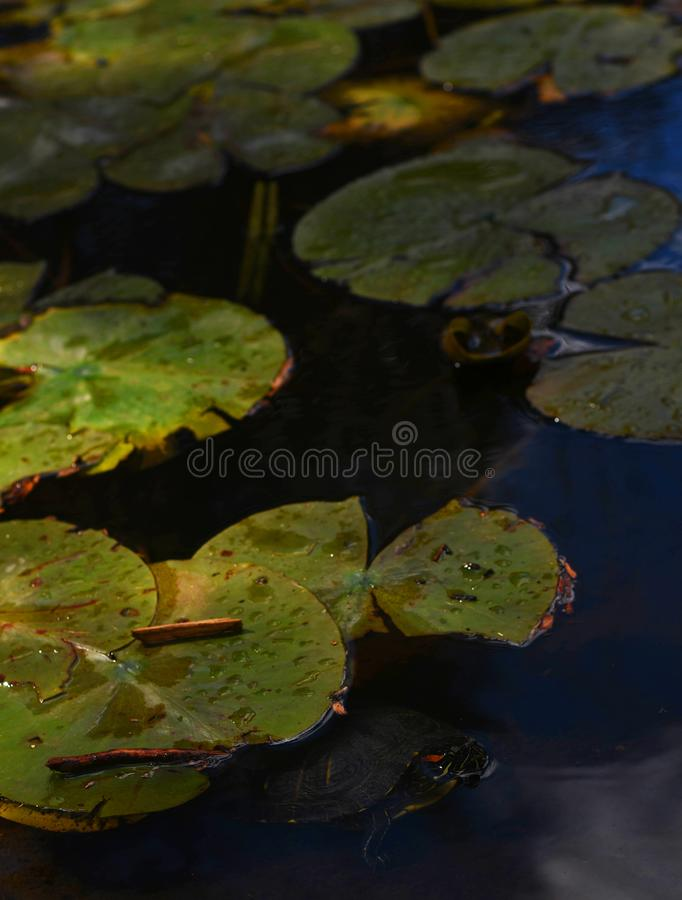 Turtle. Beautiful Water Turtle in a meditation pond royalty free stock photos