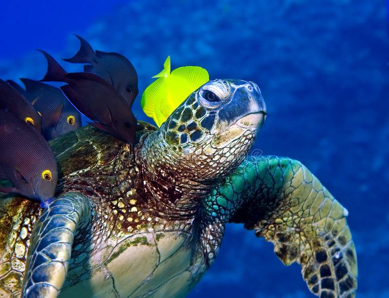 Turtle being cleaned. A hawksbill turtle is poised at an angle at a 'cleaning station'. Fish are grazing on the algae growing on the turtle's shell; a wonderful
