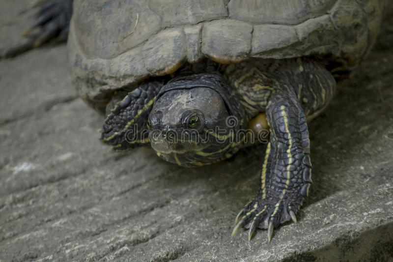 The turtle is on a cement floor. royalty free stock image