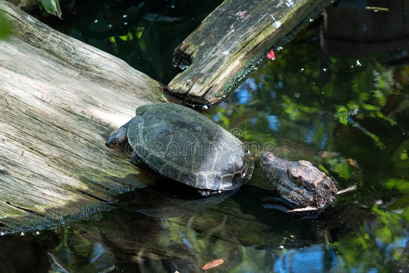 Turtle running away from baby alligator stock images