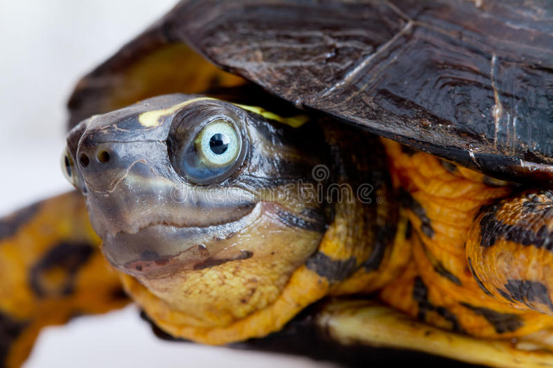 Download Turtle close up stock photo. Image of single, up, face - 26678096