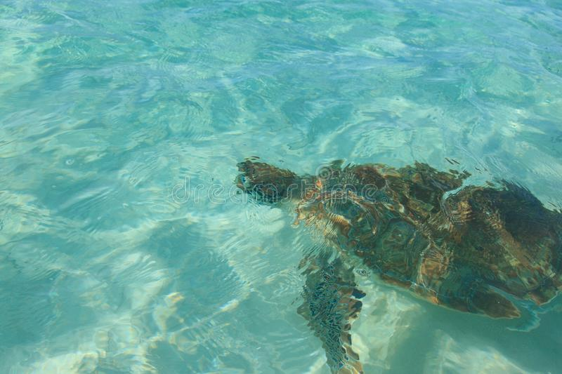 Close-up marine swims turtle under water in ocean on Worthing Beach in Barbados stock image