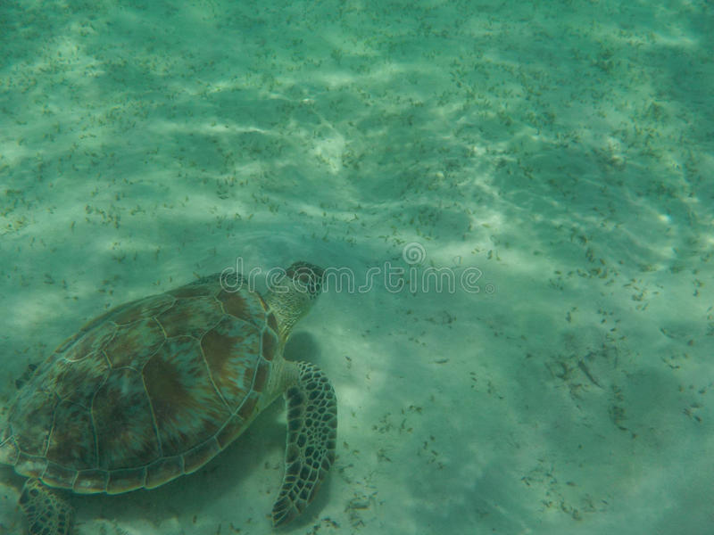 Turtle coming to you underwater royalty free stock photos