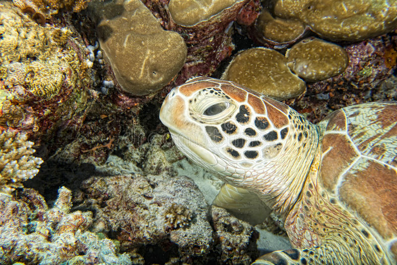 Turtle coming to you underwater. Green turtle coming to you underwater while diving royalty free stock photo