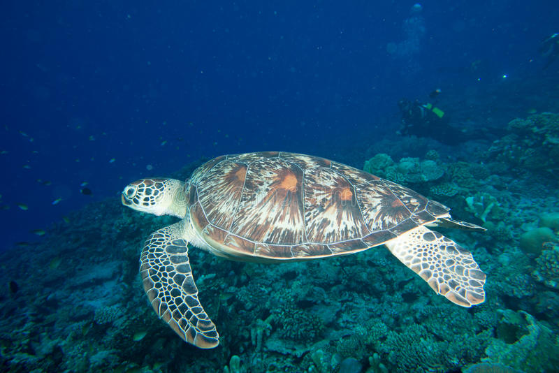 Turtle coming to you underwater. Green turtle coming to you underwater while diving stock photos