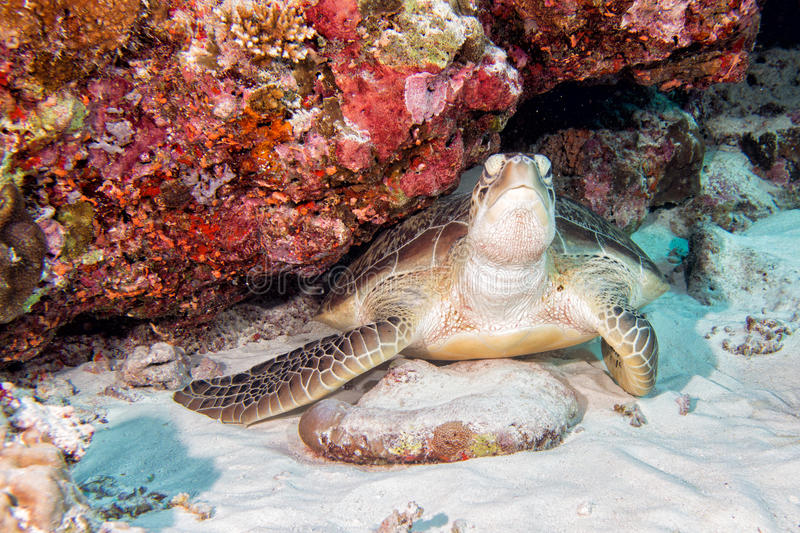 Turtle coming to you underwater. Green turtle coming to you underwater while diving stock image