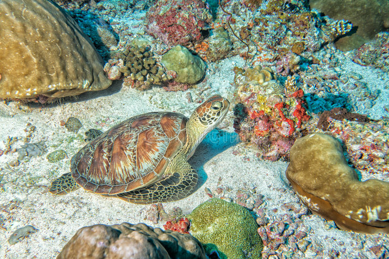 Turtle coming to you underwater. Green turtle coming to you underwater while diving royalty free stock photography