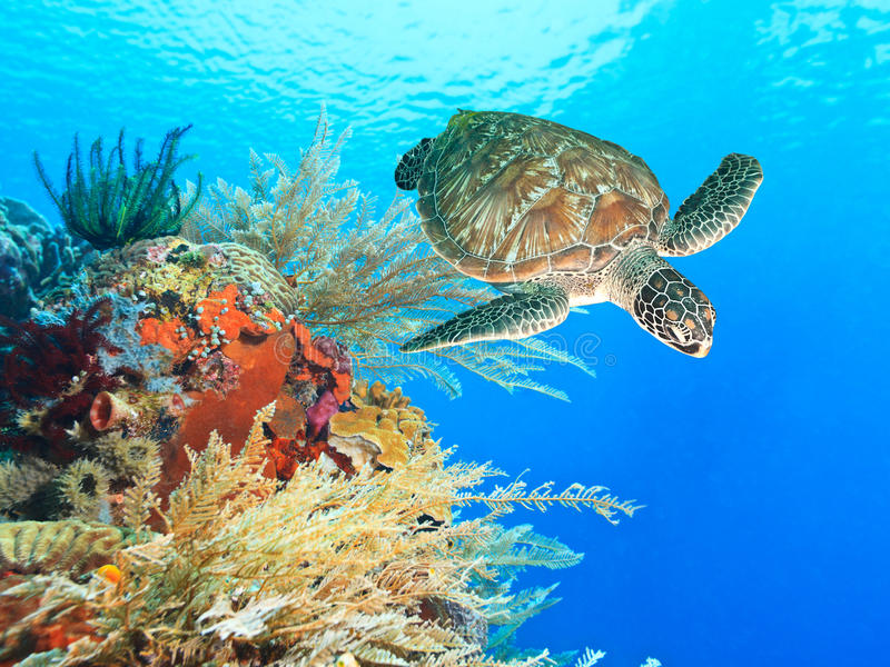 Turtle and coral. Turtle swimming underwater among the coral reef