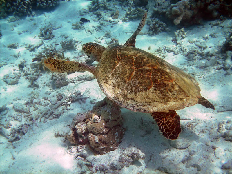 Download Turtle And Coral Reef Royalty Free Stock Photography - Image: 14200607