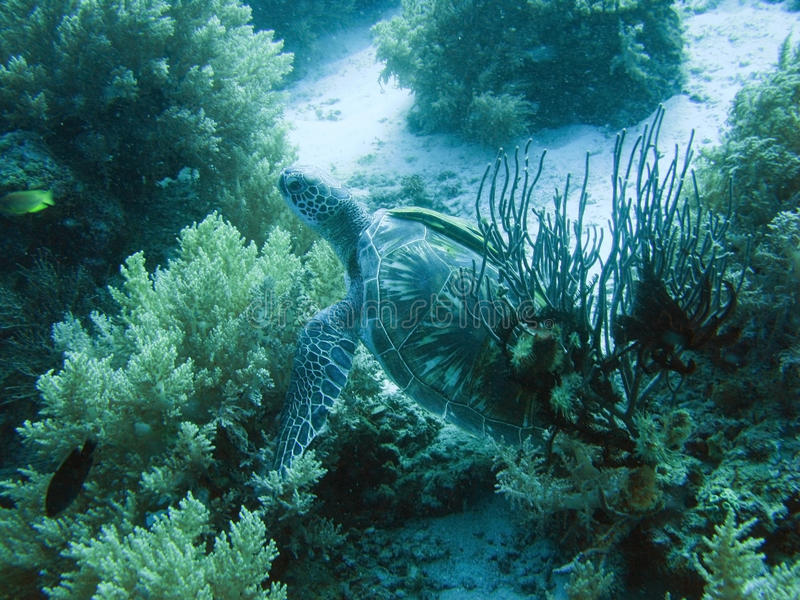 Turtle in coral sea royalty free stock images