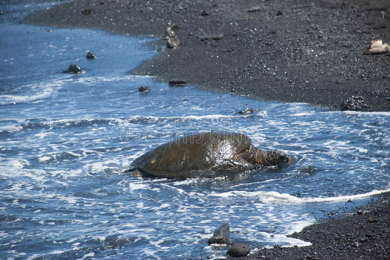 Download Turtle Crawling On Shore Stock Photos - Image: 31673173