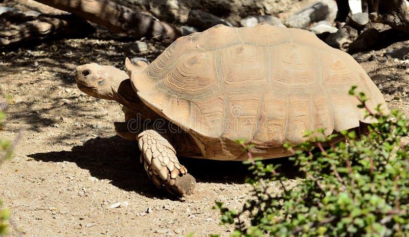 Turtle in the desert stock photo