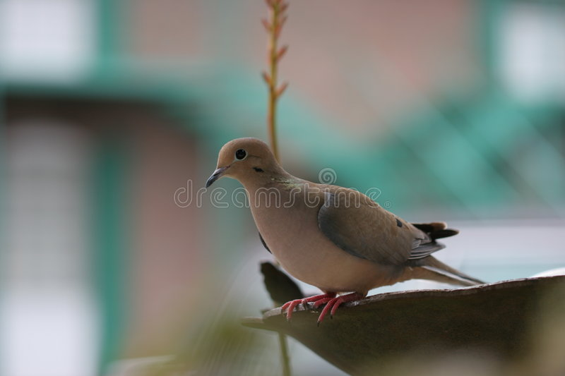Turtle Dove on bird bath. royalty free stock images