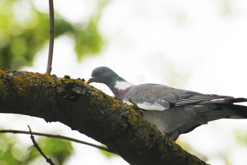 Turtle dove  builds a nest on a tall tree of dark forest stock photography
