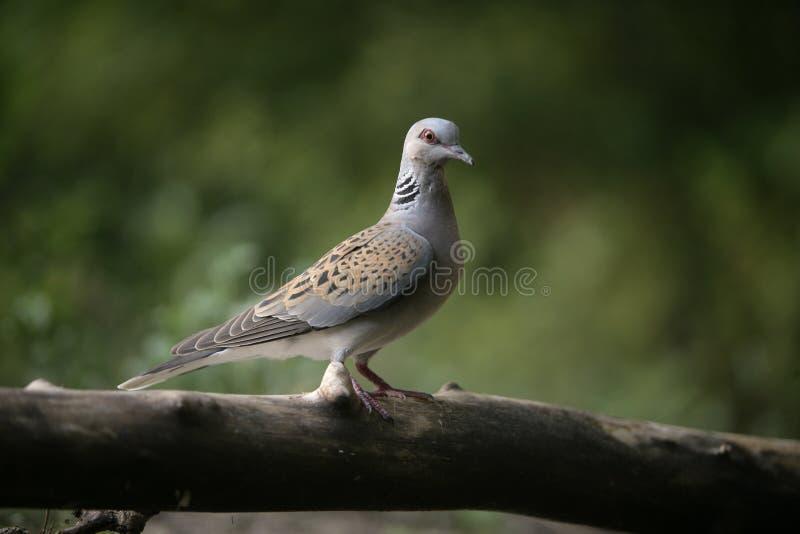 Turtle dove, Streptopelia turtur stock images