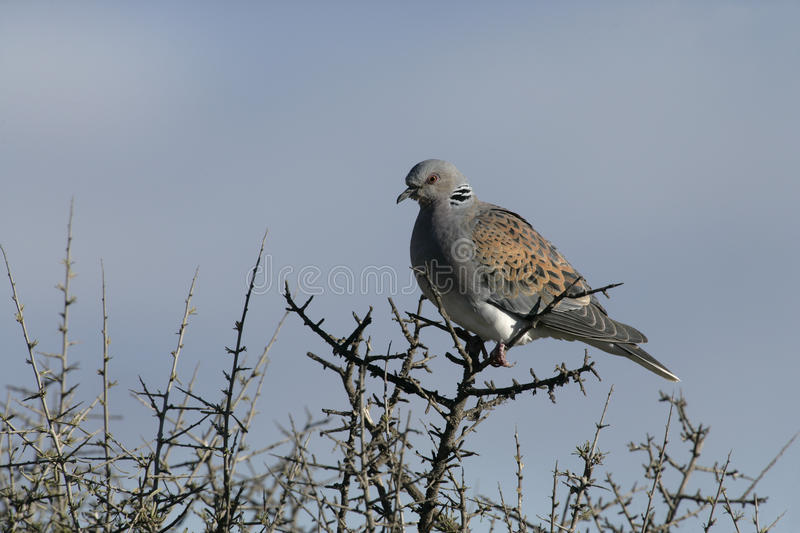 Turtle Dove, Streptopelia Turtur Stock Photos