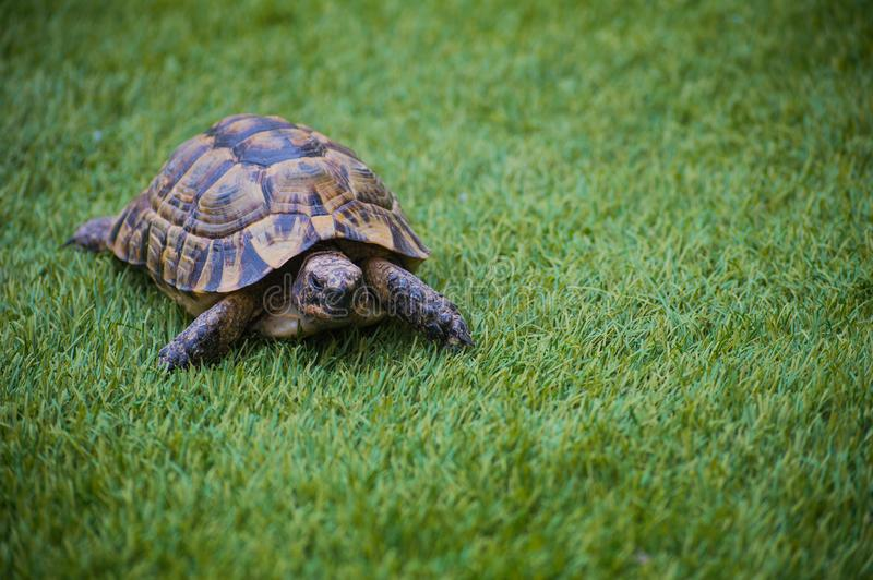 turtle dwells walking in nature stock image