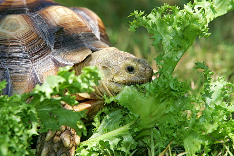 Download Turtle eating stock photo. Image of cute, turtle, summer - 7305890