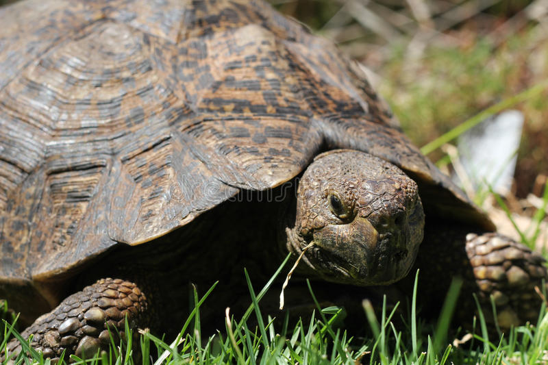 Turtle Eating Grass Royalty Free Stock Photography